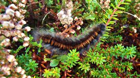 Fox ćma Caterpillar Fotografia Royalty Free