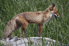 Fox. Magadan Region, the Sea of Okhotsk, Koni peninsula. Fox Stock Image