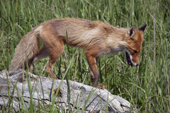 Fox. Magadan Region, the Sea of Okhotsk, Koni peninsula. Fox Royalty Free Stock Photography