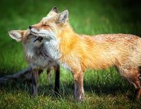 Fox-Mamma mit Welpen stockbild