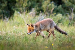 Fox marchant sur l'herbe Photo stock