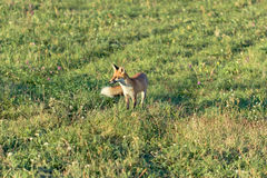 Fox in the meadow Royalty Free Stock Photo