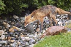 Fox mit einem Eichhörnchenabendessen Stockbild