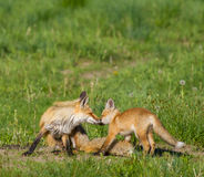 Fox mom and kit Royalty Free Stock Photos