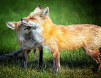 Fox Mom with Pup. A fox pup showing mom some love Stock Image
