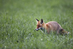 Fox in the morning dew Stock Image