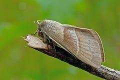 Fox moth Royalty Free Stock Photo