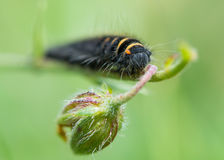 Fox moth (Macrothylacia rubi) early instar caterpillar Royalty Free Stock Photos