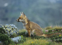 Fox on mountain pass Royalty Free Stock Images