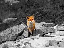 Fox Royalty Free Stock Photo