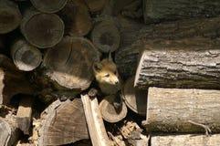 Fox in mucchio di legno fotografia stock
