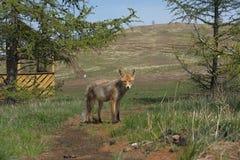 Fox na Baikal obraz stock