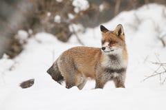 Fox na neve Imagens de Stock