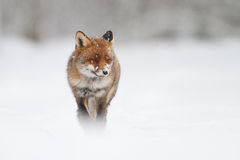 Fox na neve Fotografia de Stock