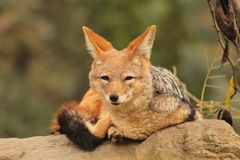 Fox na pedra Foto de Stock Royalty Free