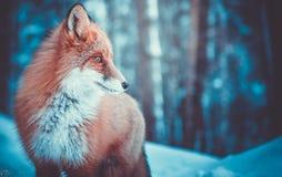 Fox na polowaniu zdjęcia royalty free