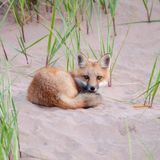 Fox na praia Foto de Stock Royalty Free