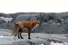 Fox na skale Zdjęcia Royalty Free