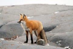Fox na skale Obrazy Royalty Free