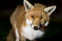 Fox nachts mit verletztem Auge Stockbilder