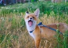 Fox nature of animals stock photo