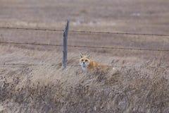 Fox nell'inverno Immagini Stock