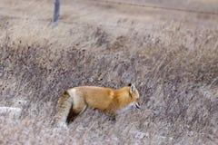 Fox nell'inverno Fotografie Stock Libere da Diritti