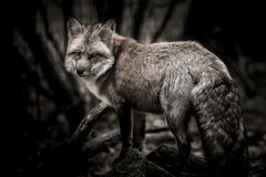 Fox nello scuro Fotografia Stock