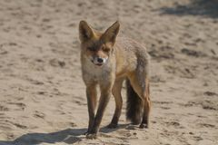 Fox. In the Netherlamds Royalty Free Stock Photo