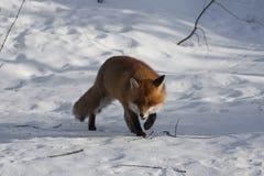 Fox in neve Fotografia Stock