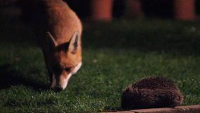 Fox at night. stock video footage