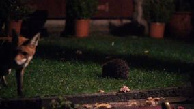 Fox at night in urban garden feeding.