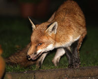 Fox at night in urban garden. Royalty Free Stock Image