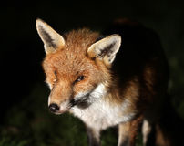 Fox at night in urban garden. Stock Photography