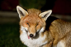 Fox at night in urban garden with injured eye. Stock Photo