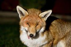 Fox at night in urban garden with injured eye. Stock Photo