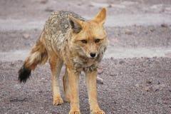 Fox no deserto Imagens de Stock Royalty Free