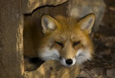 Fox no inverno Fotos de Stock Royalty Free