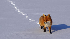 Fox no inverno Foto de Stock