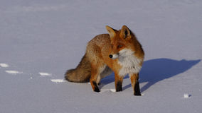 Fox no inverno Fotos de Stock