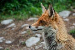 Fox no vulpes do Vulpes do campo, Tatras alto, Eslováquia fotos de stock