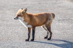 Fox ohne ein Endstück stockbilder