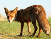 Fox Oostvaardersplassen 库存图片