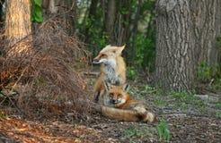 Fox-Paare im Früjahr lizenzfreie stockfotografie