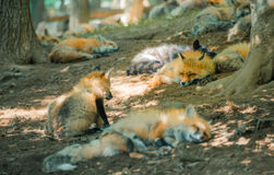 Fox pack , fox village, Miyagi , Japan. Fox pack resting together in the forest , fox village, Miyagi , Japan Stock Images
