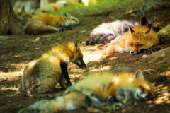 Fox pack , fox village, Miyagi , Japan. Fox pack resting together in the forest , fox village, Miyagi , Japan Royalty Free Stock Photos