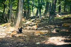 Fox pack , fox village, Miyagi , Japan. Fox pack resting together in the forest , fox village, Miyagi , Japan Stock Photography