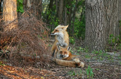 Fox Pair in the Spring Royalty Free Stock Photography