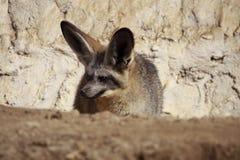 Fox palo-espigado que está al acecho Fotografía de archivo