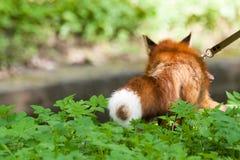 Fox para uma caminhada no jardim zoológico Foto de Stock